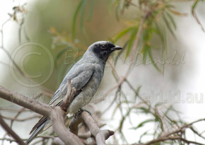 Black-faced Cuckoo-shrike BFCS1