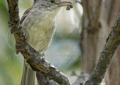 Grey Shrike-thrush GST1