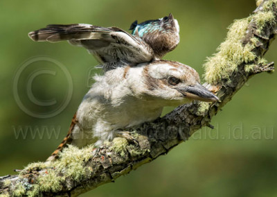 Laughing Kookaburra K4
