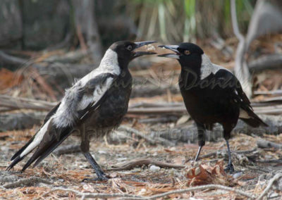 Australian Magpies MP1
