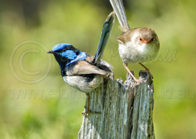 Superb Fairy-wrens BW5