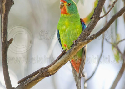 Swift Parrot SWP1