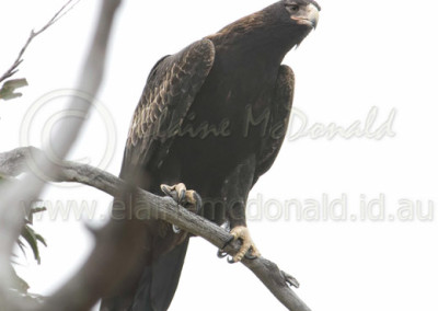 Tasmanian wedge-tailed Eagle WTE4