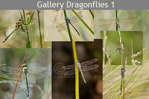 dragonflies in Tasmania