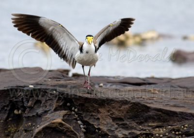 Spur-winged Plover SWP1